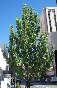 tree-downtown-reno